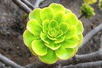 Green rosettes of succulent Aeonium arboreum