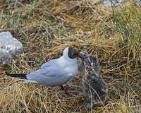 Zwei Küken einer Lachmöwe (Chroicocephalus ridibundus) warten auf Futter