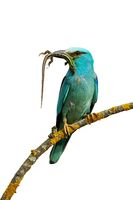 Front view of european roller sitting on perch holding lizard isolated on white