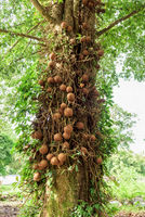 Shala tree (Shorea robusta)