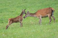 Young red deer calf touching head of its mother with nose in summer