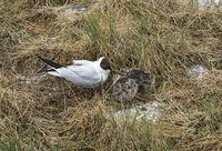 Lachmöwe (Chroicocephalus ridibundus)  füttert ihre Jungen