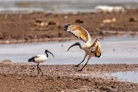 bird African Sacred Ibis, Ethiopia safari wildlife