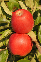 Red Apples 3