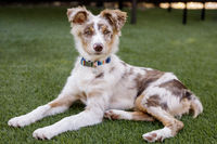 Red Merle Australian Shepherd Puppy lying down and looking at camera.