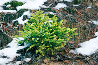 Undergrowth of coniferous trees in winter