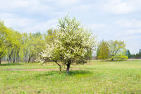 Wild pear tree with white flowers
