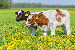 Two newborn calves together in meadow with dandelions