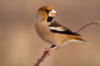Male hawfinch sitting on twig with thorns on a sunny winter day