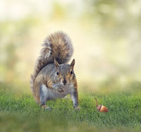 American gray squirrel on grass