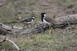 red-wattled lapwing which stands on a swampy shore near a small pond on a winter day
