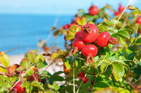the round bushes of wild rose of the sea, ripe red rose hips