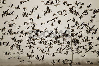Thousands of geese (bean goose and white-fronted goose) landing in plowed field