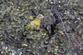 yellow-footed green pigeon that sits on a tree branch and tries to swallow a small fruit