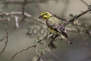 White bellied canary that sits on a branch in the crown of a bush at the edge of the acacia forest