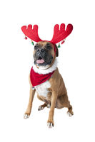 Beautiful Brown Boxer Dog in Holiday Christmas Scarf Bandana and Reindeer Antlers looking toward cam