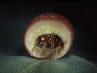 Oak apple with insect larvae