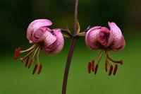 martagon lily; lilies;