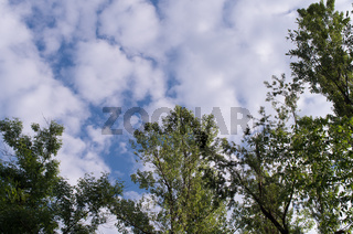 Clouds in the sky. A view of the tops of the trees against the backdrop of swirling clouds in the