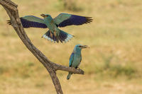Couple of European roller