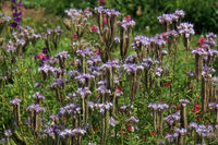 lacy phacelia, blue tansy or purple tansy