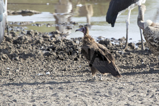 Hooded Vulture sitting on the sandy shore of a small river in the dry season near other birds of prey