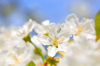 Close up on white cherry blossoms.