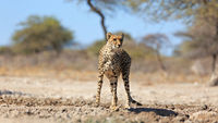 A cheetah at a waterhole