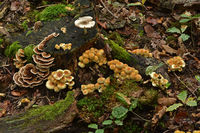 Mushroom accumulation on the forest floor and on the tree stump
