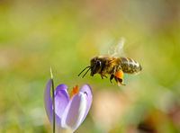 Flying honeybee pollinating a purple crocus flower