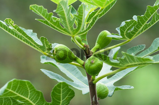 Young figs on the branch of a fig tree  on the branch of a fig tree. Green fresh figs.