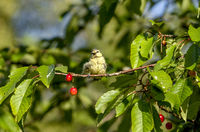 Newly hatched blue tit bird in a cherry tree