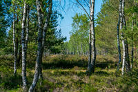 Landscape of a nature reserve with heather (erica) plants and birches