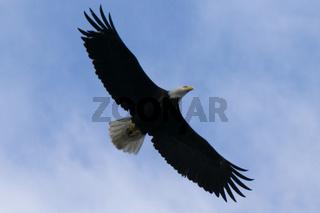 bald head eagle in flight found in alaska