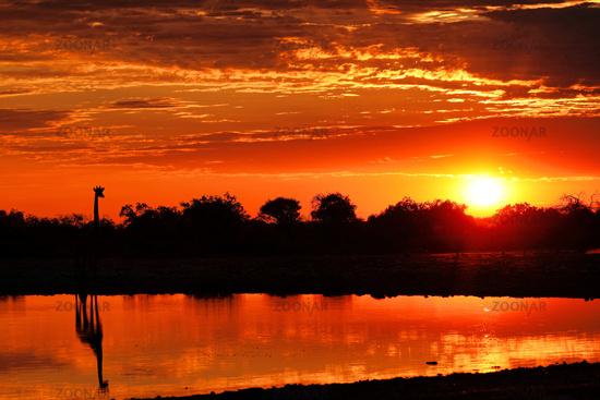 Giraffe in the sunrise at a waterhole, Etosha National Park, Namibia, (Giraffa camelopardalis)