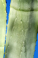 Close up of Agave leaves, Algarve, Portugal