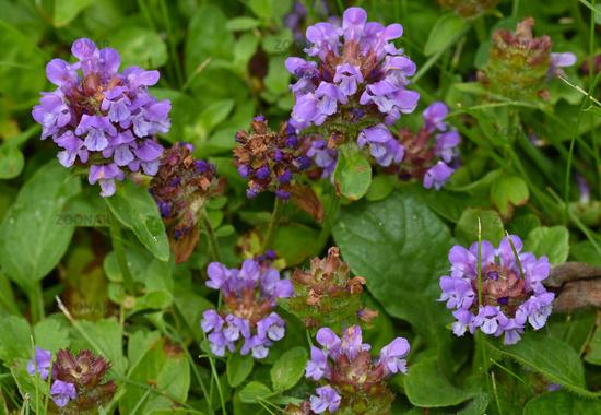 common self-heal, heal-all, Prunella vulgaris