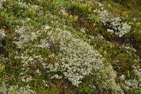 caribou moss, reindeer lichen,
