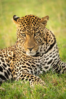 Close-up of male leopard lying staring down