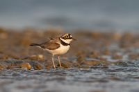 Little ringed plover, Charadrius dubius with copy space