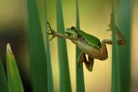 King of climbing - European tree frog