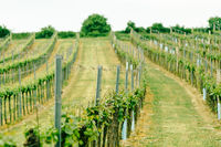 Vineyard landscape. Farming, travel and gardening concept.
