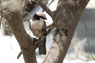 Northern White crowned Shrike that sits on a dry branch on a tree in the African savanna