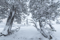 Snow covered pines, Dundret nature reserve, Gellivare, Lapland, Sweden