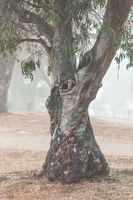 Snow Gum in the fog Snowy Mountains Australia