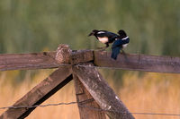 Magpie, Pica Pica, Germany