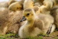 Canada goose chicks