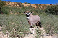 Oryx, Kgalagadi Transfrontier National Park, South Africa, (Oryx)