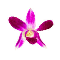 Orchid flower isolated at white background