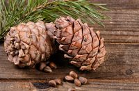 Cedar branch with cones on wooden background